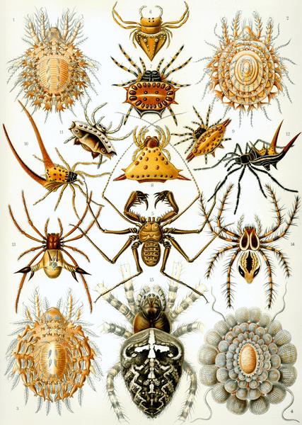 https://commons.wikimedia.org/wiki/File:Haeckel_Arachnida.jpg
