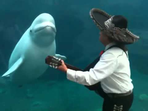 VOTE FOR MARIACHI CONNECTICUT & THE BELUGA TO WIN AN 'URLIE' http://www.huffingtonpost.com/2011/12/15/urlies-2011-the-cutest-vi_n_1150658.html#s545290&title=Mariachi_Beluga_Whale Mariachi Connecticut performing for a beluga whale at Mystic Aquarium, where they were performing during a wedding. Want to become a part of the next viral sensation? Check out Flipbook Island: http://www.kickstarter.com/projects/ianapplegate/flipbook-island Want more mariachi?