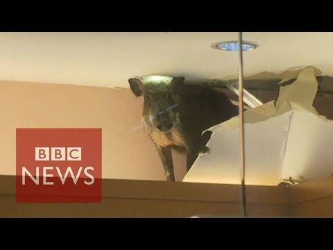 A wild boar smashed through the roof of a children's clothing shop in Hong Kong. It was trapped inside and ran around the store, knocking over clothes and mannequins. According to the South China Morning Post, it was tranquilised by a vet and taken to an animal rehabilitation centre.