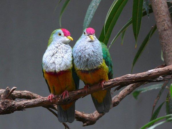 200932_21334030886_Mariana-fruit-dove-2.jpg