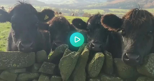 Classical Cows