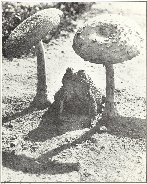 "With its protective coloring this toad feels much at ease near mushrooms."" Elementary Science by Grades, Book Five. 1930."