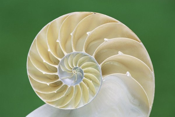 chambered_nautilus_shell-other_1024x1024.jpg?16764288978258867610