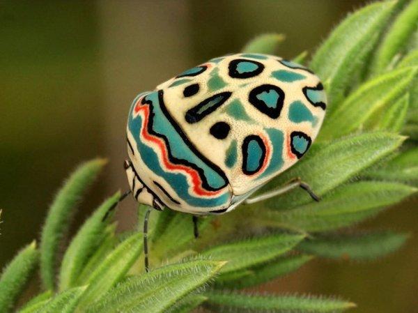 Picasso Bug, Sphaerocoris annulus