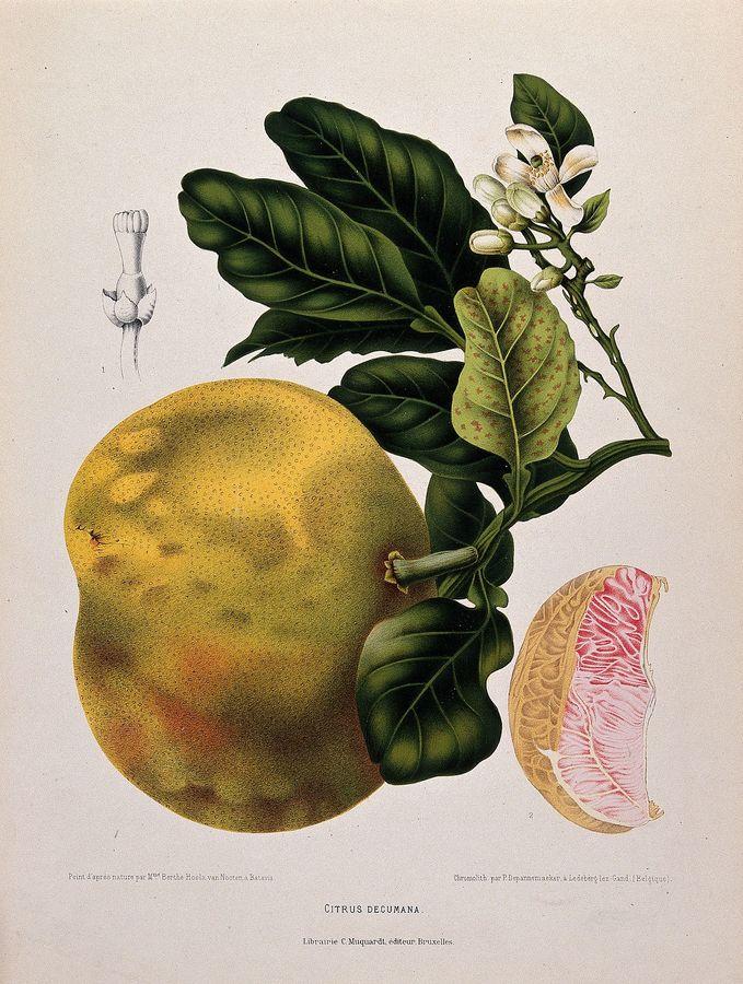 1448px-pummelo_or_pamplemousse_-citrus_maxima_-burm.-_merr.-;_flowe_wellcome_v0042686.jpg