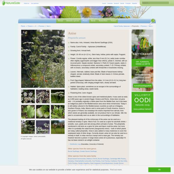 Anise, Pimpinella anisum - Flowers - NatureGate