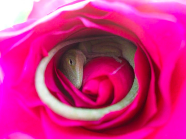 Lizard uses flower as comfy bed