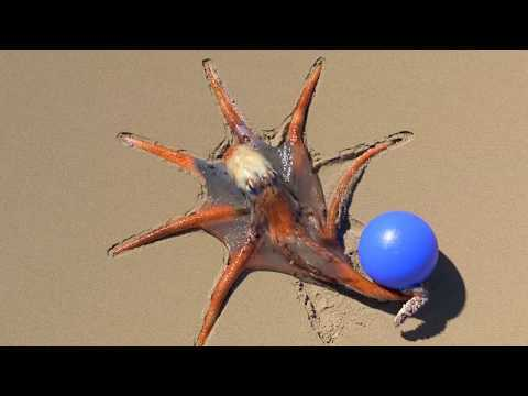 Octopus playing with ball - The Truth.