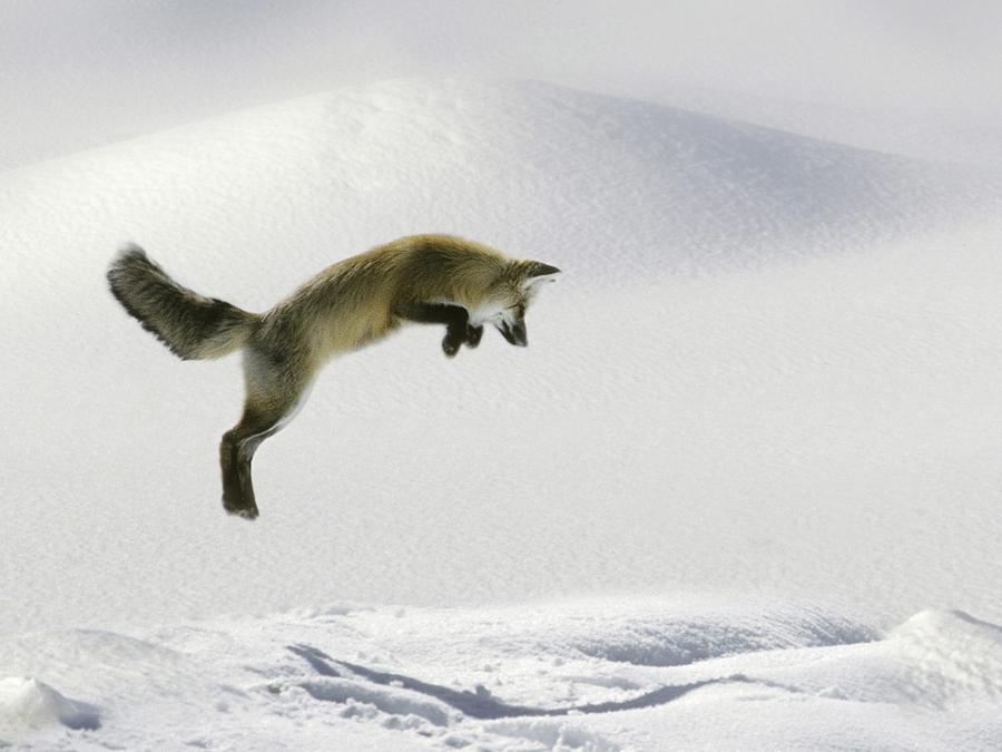 Snow-Fox-1280x960-wide-wallpapers.net.jpg