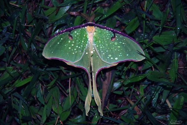Luna moth on a fox glove leaf
