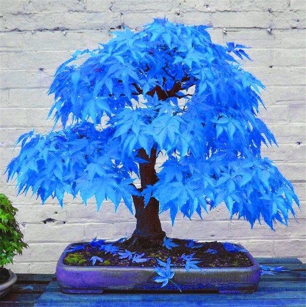 20pcs-bonsai-blue-maple-tree-bonsai-tree-plants-rare-sky-blue-japanese-maple-bonsai-balcony-plants.jpg_640x640.jpg