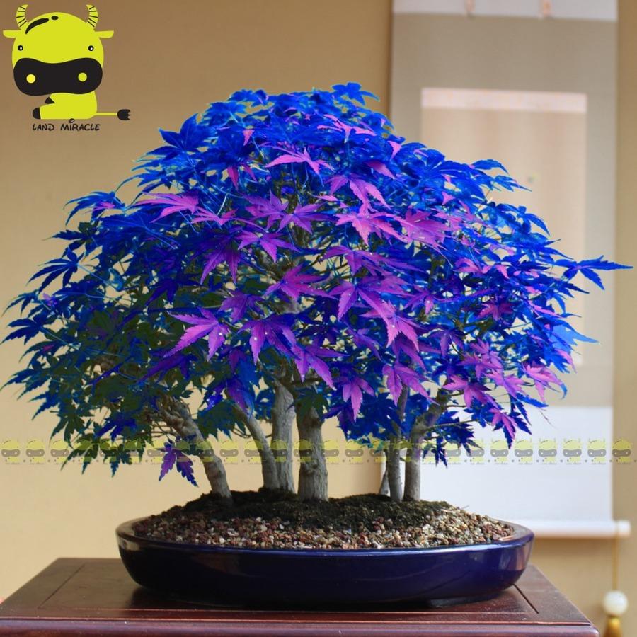 rare-purple-blue-ghost-japanese-maple-tree-acer-palatum-bonsai-flower-tree-plant-for-home-garden-1.jpg