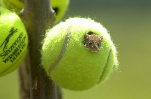 tennis ball house field mice