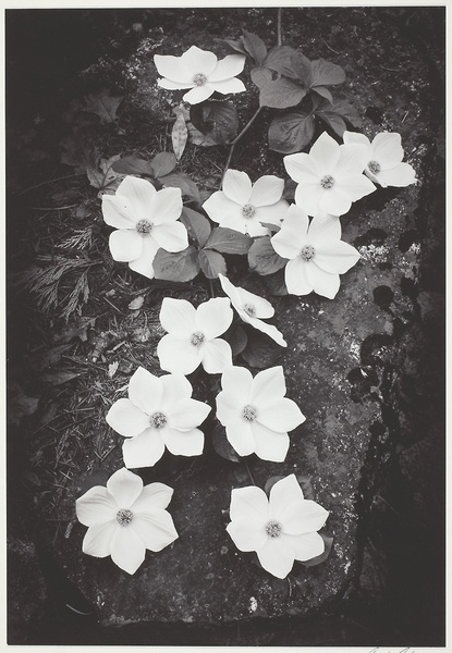 Ansel Adams. Dogwood Blossoms, 1938