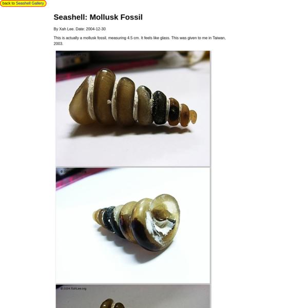 Seashell: Mollusk Fossil