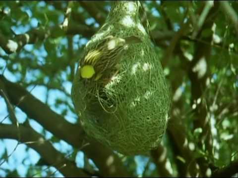 BBC Home Making: Weaver Bird