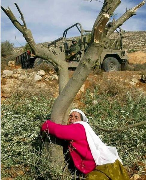 palestinian-hugs-an-olive-tree-cut-down-by-israelis.png