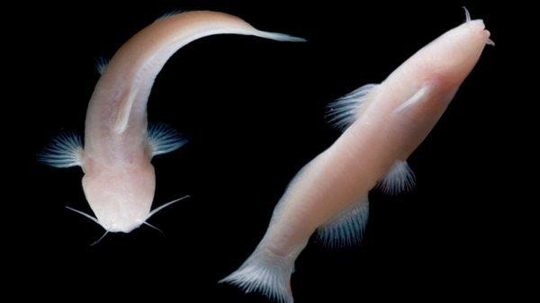 prietella phreatophila (blind catfish)