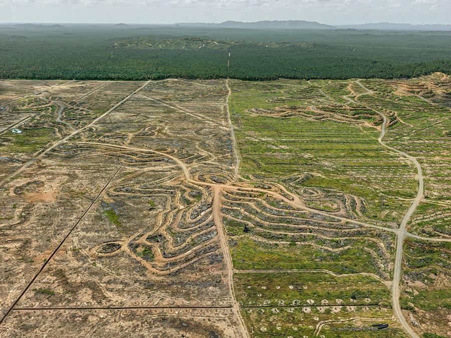 Palm plantation on the island of Borneo
