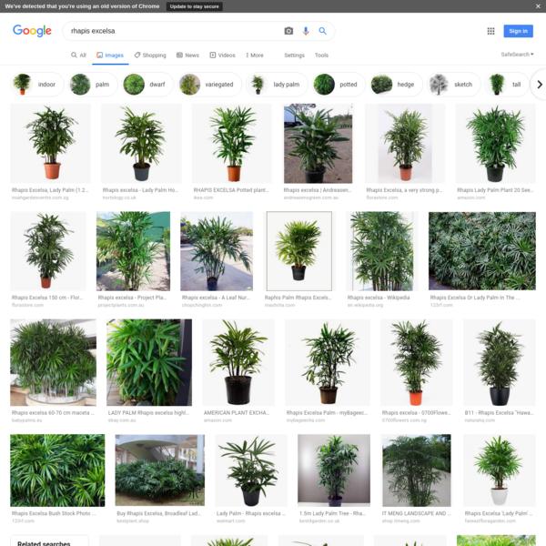 rhapis excelsa - Google Search