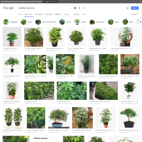 schefflera arboricola - Google Search