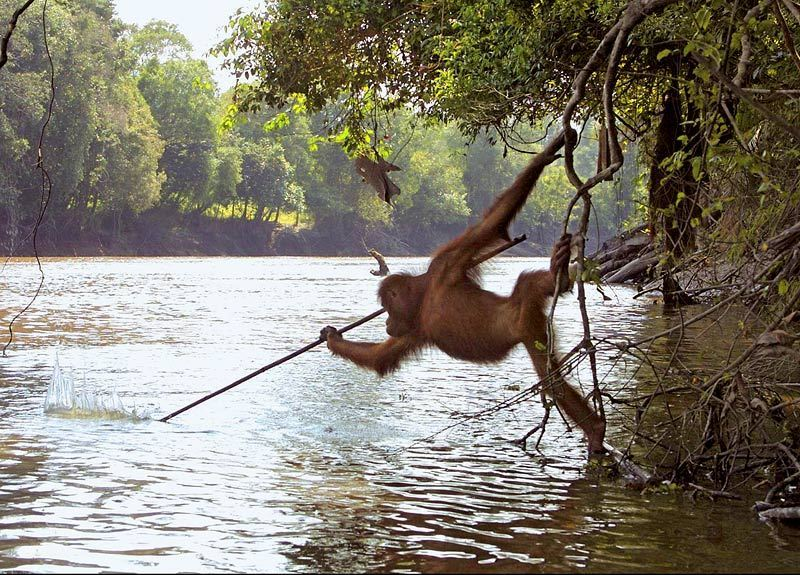 orangutan-tool-use-fishing.jpg?w=800-h=