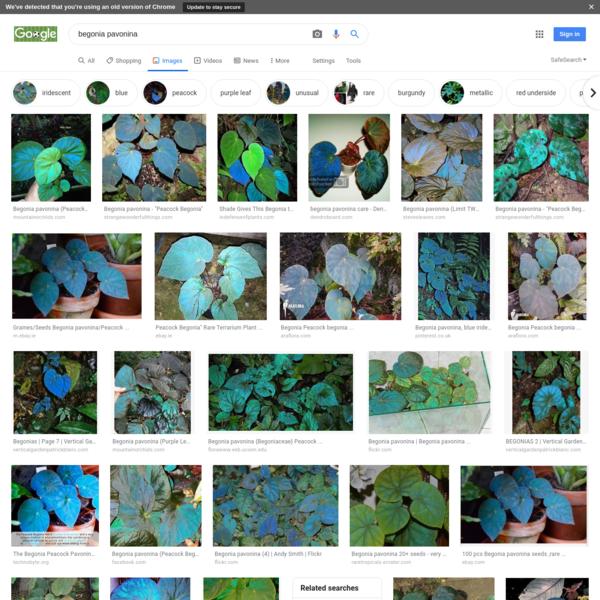 begonia pavonina - Google Search