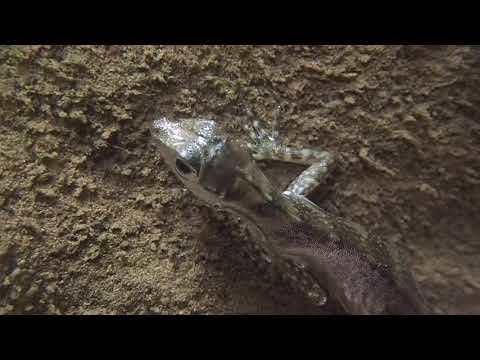 Water anole underwater breathing