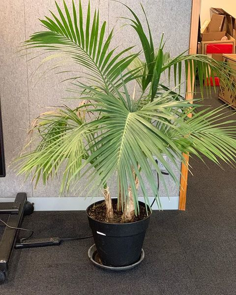 meet marcel. he lives with the creative team on the 15th floor. he's the last surviving plant from moma's marcel broodthaers...