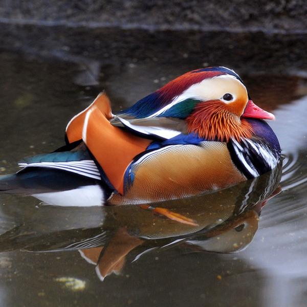 1-mandarin-duck-central-park.w700.h700.jpg