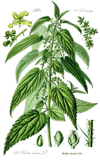 illustration_urtica_dioica.jpg?resize=350-563