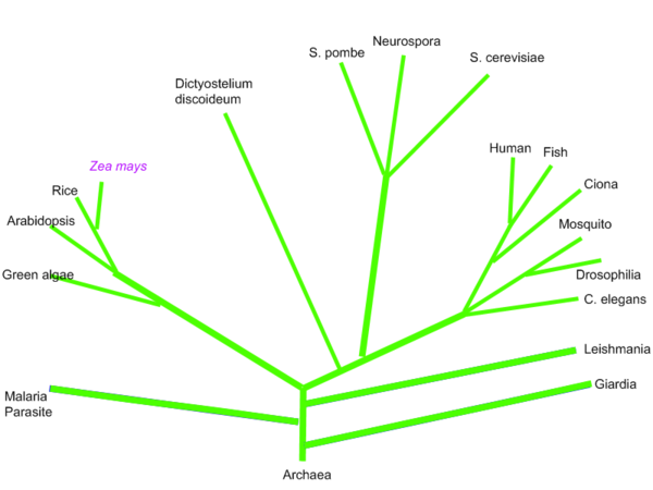 phylogenetic-tree-2.png