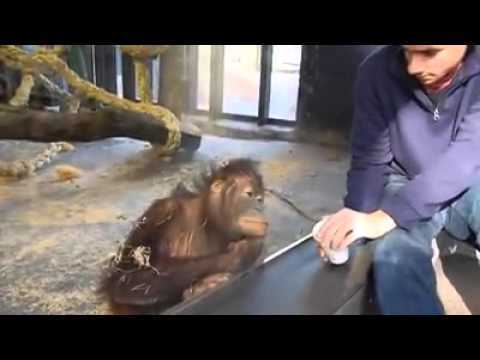 HAHA watch this Orangutan laugh as he is impressed by this magic trick! Live in the UK and want to make TAX free cash GUARANTEED each and every month up to £1000... Visit www.mbsystemsuk.com