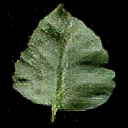 leaf392.png