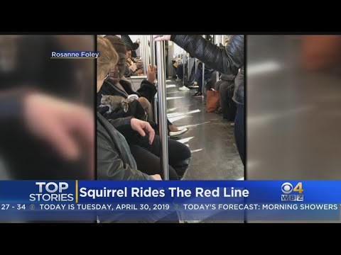 Squirrel Rides The Red Line