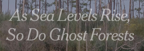 As Sea Levels Rise, So Do Ghost Forests