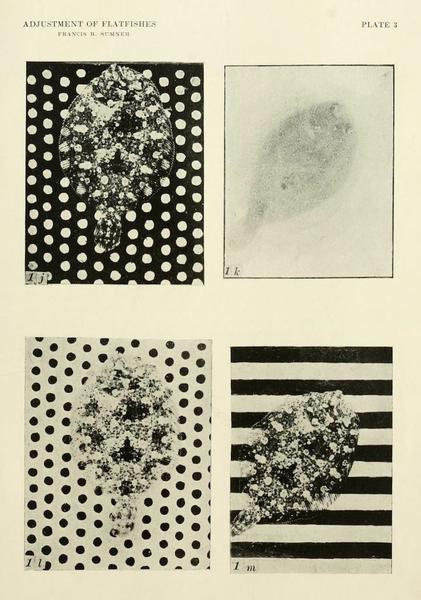 Flatfish against patterns