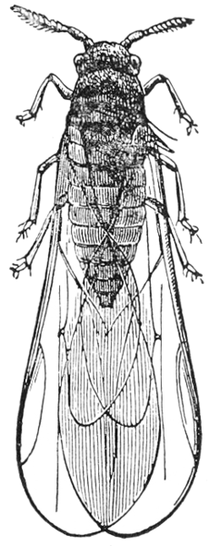 phylloxera_vastatrix_illustration.png