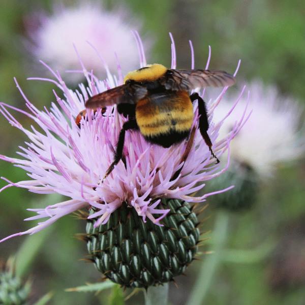 bumblebee-butt16.jpg