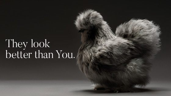 The Most Stunning High Quality Chicken Book Photos Ever Made