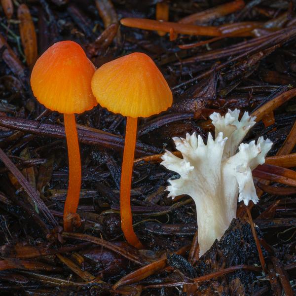 gifford-pinchot-mycena-strobilinoidea-and-clavulina.jpg