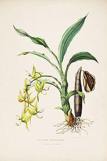 220px-cycnoches_ventricosum-bateman_orch._mex._guat._pl._5_-1842-.jpg