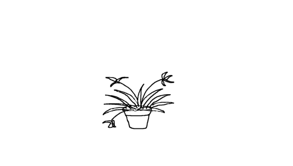 Ribbon Plant (Malamadre)