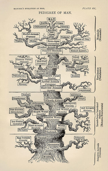 800px-tree_of_life_by_haeckel.jpg