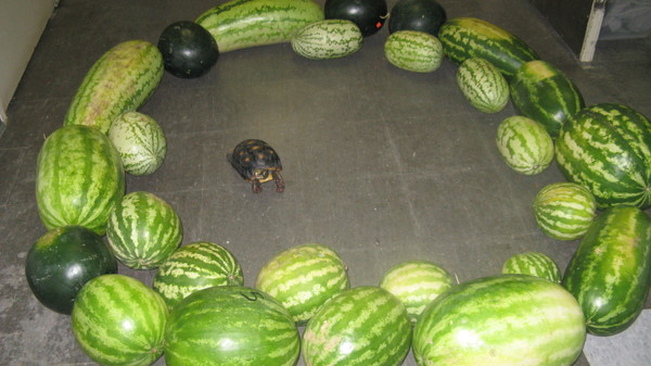 watermelons-turtle.jpg