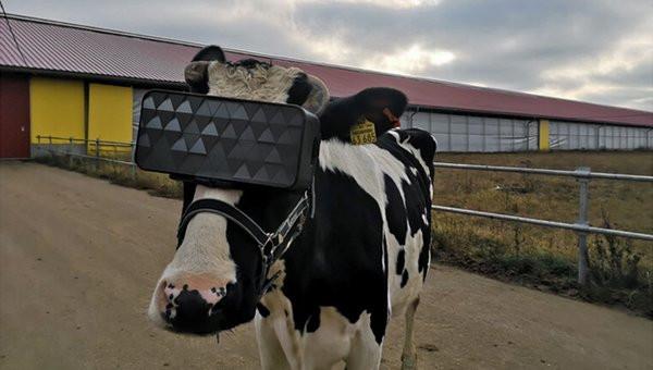 cow600.jpg