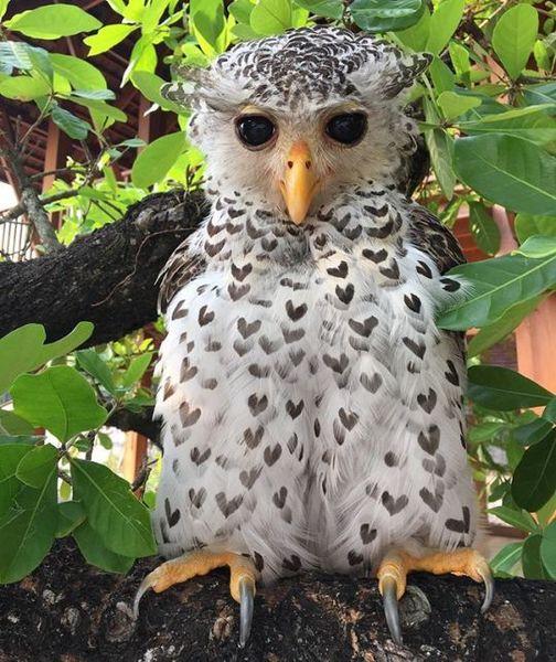Spot-bellied eagle-owl with heart markings
