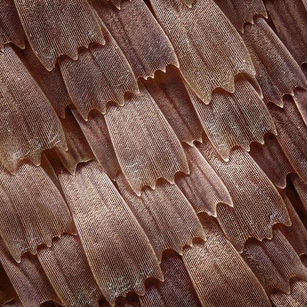 butterfly-scales-401-javier-torrentvwpics.jpg