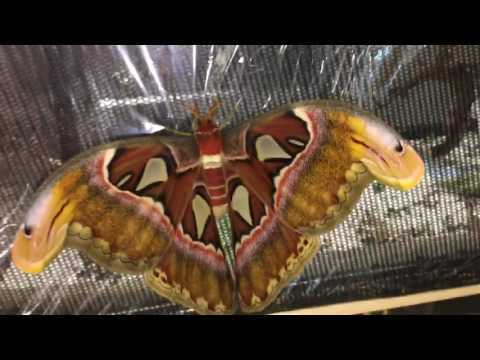 LARGEST MOTH IN THE WORLD FLY !