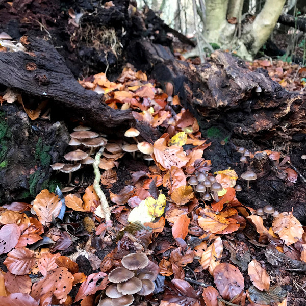 Autumn mushrooms in Epping Forest